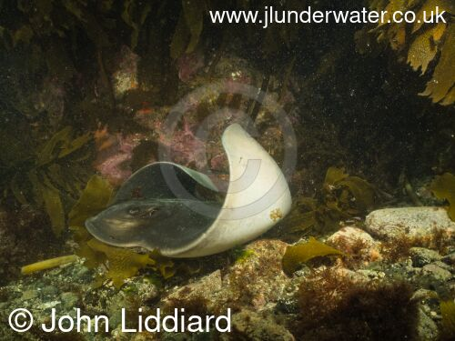 New Zealand. Tawharanui regional park and marine reserve. The Cliffs. Cray Bay. New Zealand eagle ray. Myliobatis tenuicaudatus. New Zealand Diving. https://nzdiving.co.nz.