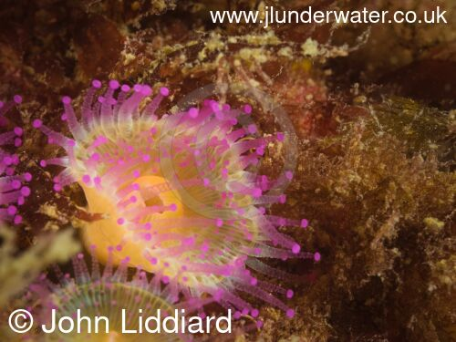 New Zealand. Tawharanui regional park and marine reserve. Takatu Point. Yellow and pink jewel anemone. New Zealand Diving. https://nzdiving.co.nz.