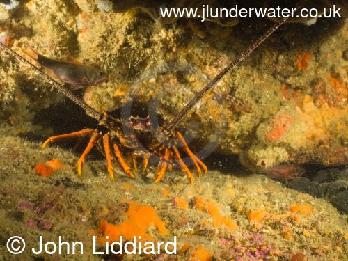 New Zealand. Tawharanui regional park and marine reserve. Takatu Point. Crayfish. Spiny lobster. Saltwater crayfish. New Zealand Diving. https://nzdiving.co.nz.